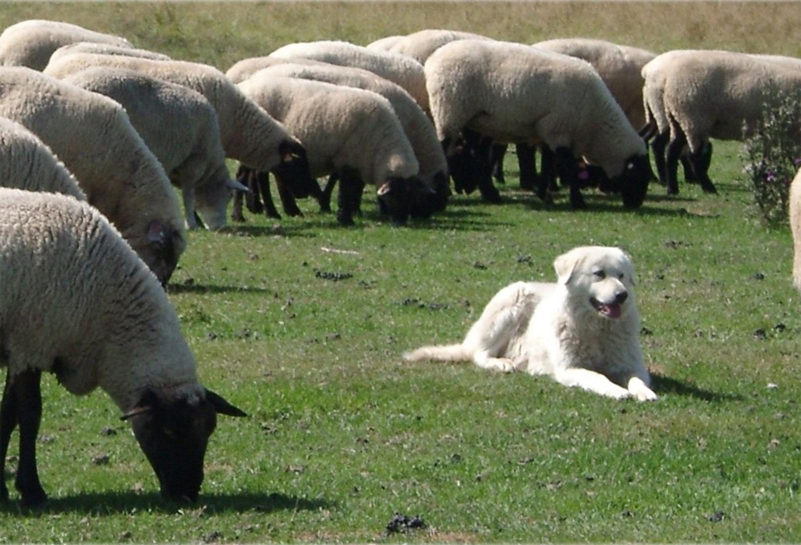 Governo Italiano Riconosce La Valorizzazione Del Cane Pastore Abruzzese